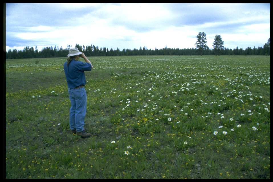 Photographing a field of white-rayed mule's ears (Wyethia helianthodes).