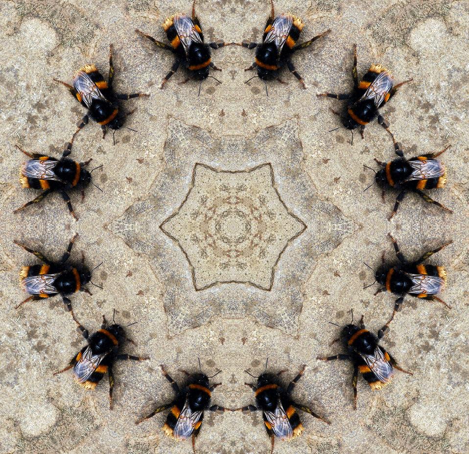Bumblebees dancing