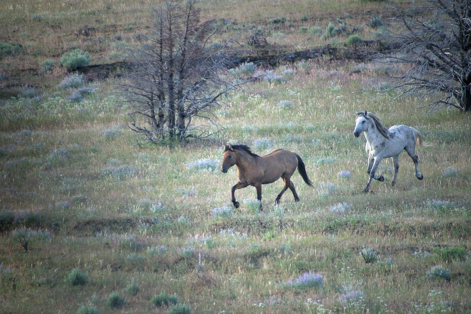 Wild Horse(s) in the Kiger Wild Horse Herd Management Area.