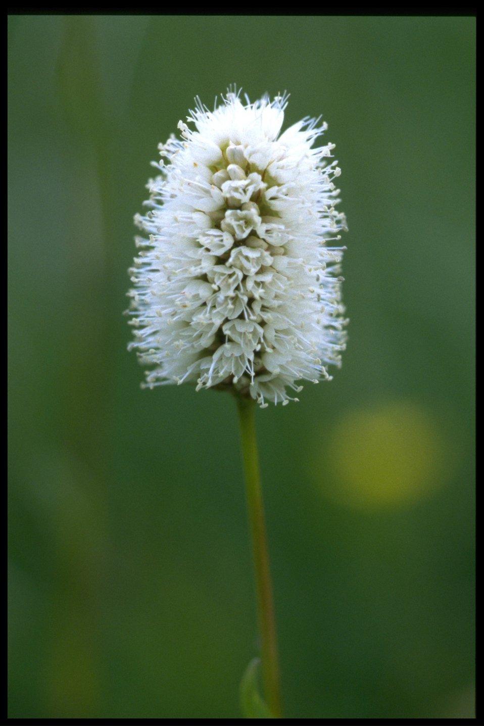 Closeup of American bistort (Polygonum bistoroides).