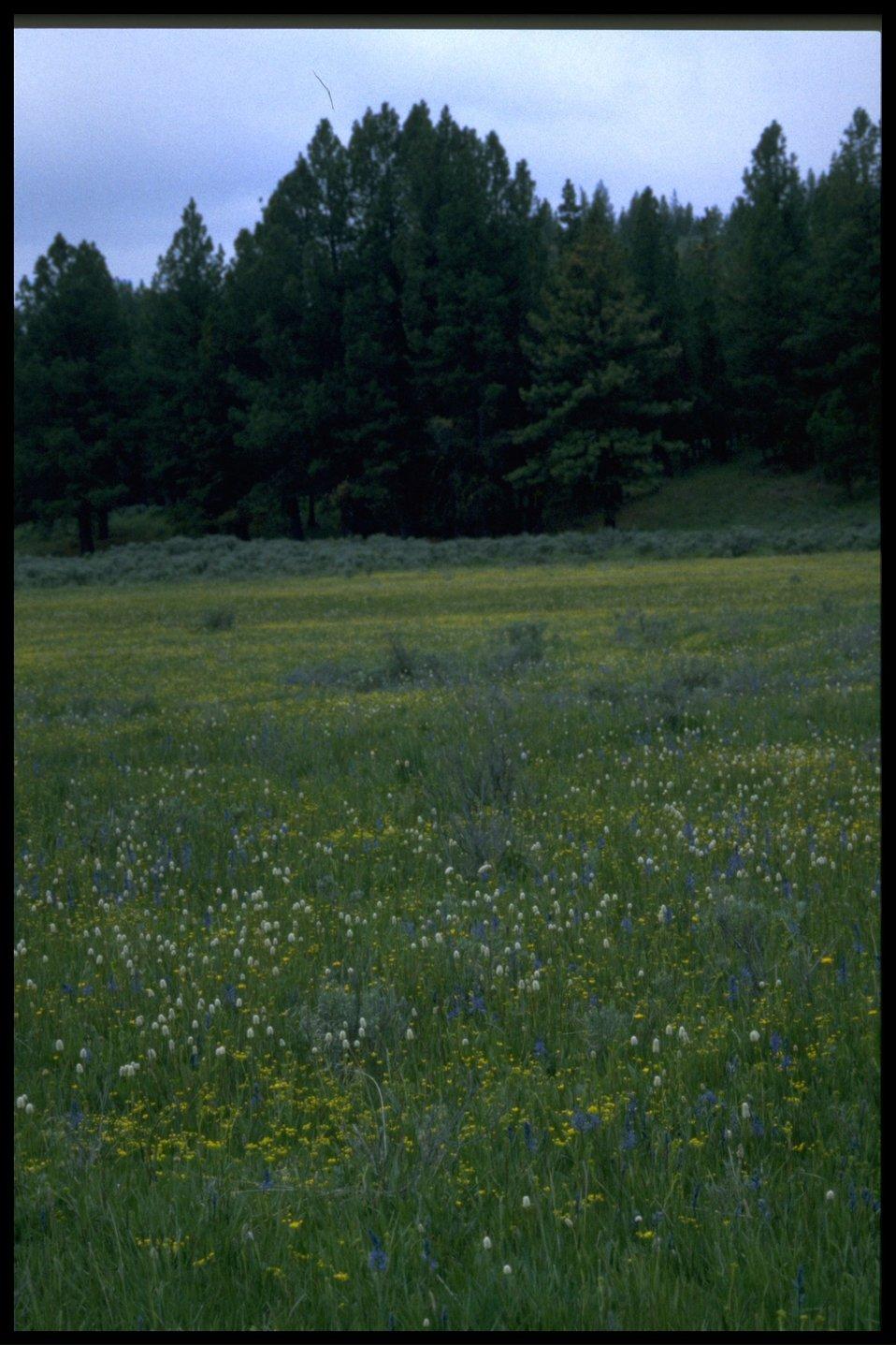 Meadow display of small camas (Camassia Quamash), American Bistort (Polygonum bistortoides) and slenderfruit lomatium (Lomatium leptocarpum).