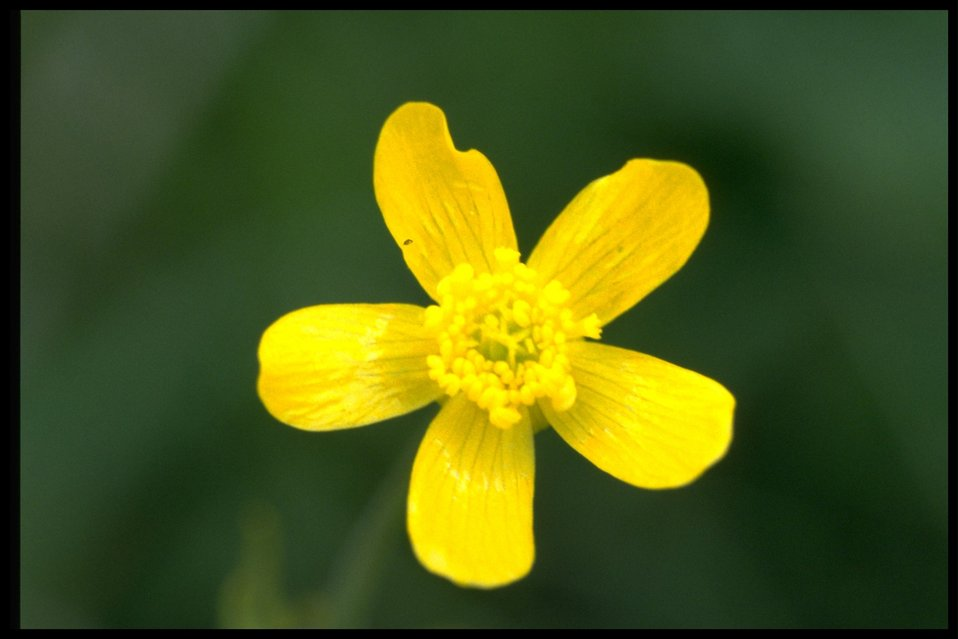 Closeup shot of western buttercup (Ranunculus Occidentalis).
