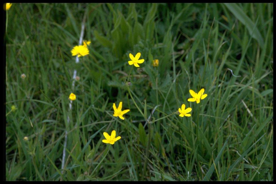 Farshot of western buttercup (Ranunculus Occidentalis).