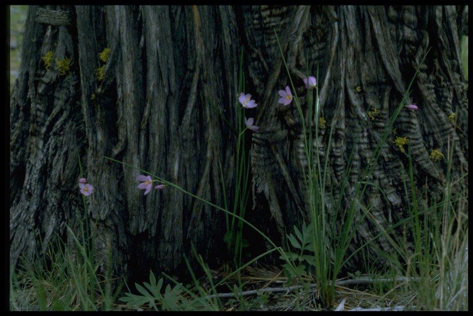 Farshot of inflated grasswidow (Olsynium douglasii var. inflatum).