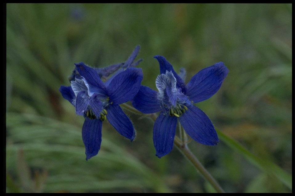 Closeup shot of upland larkspur (Delphinium nuttallianum).