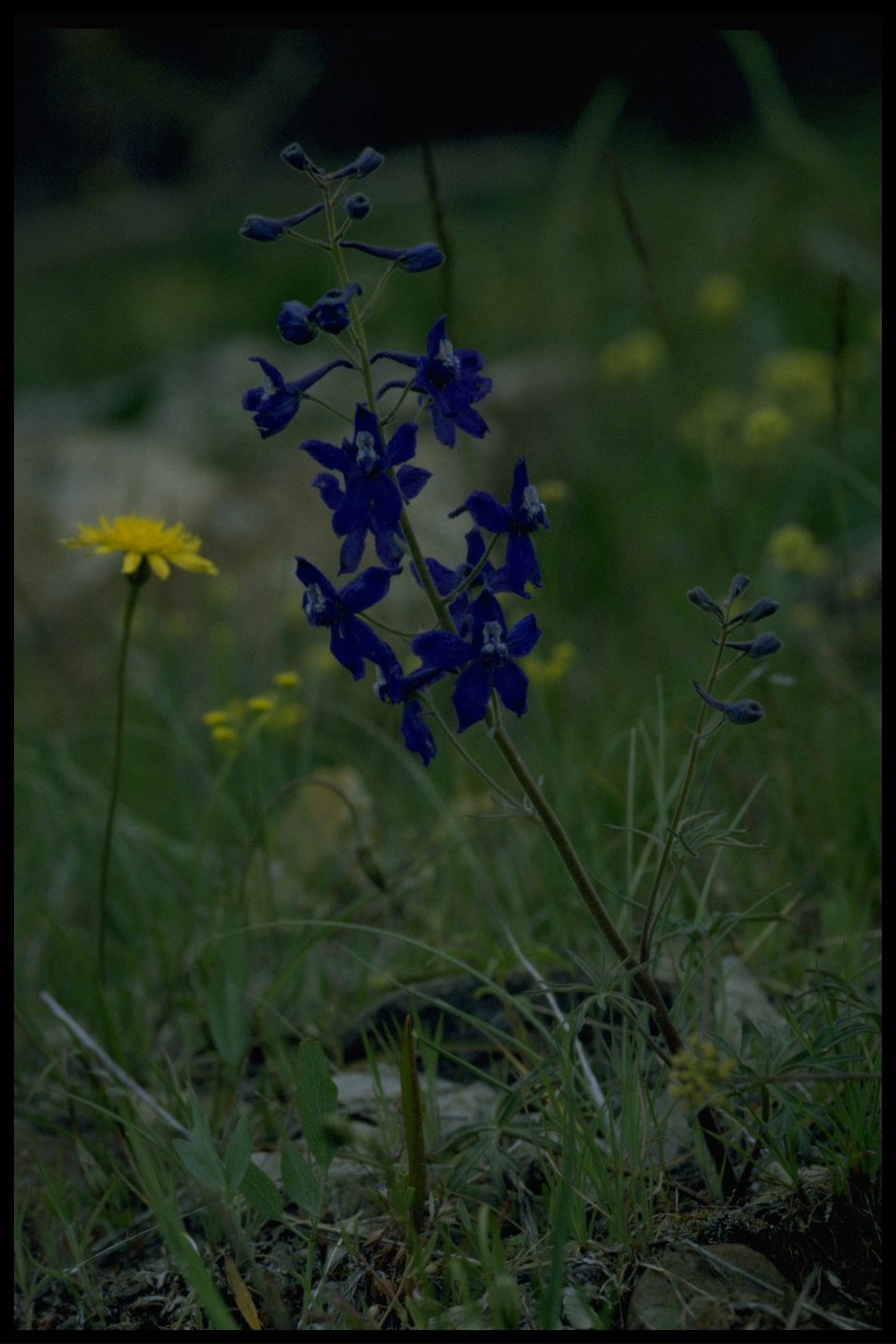 Medium shot of prairie dandelion (Microseris troximoides) and upland larkspur (Delphinium nuttallianum).