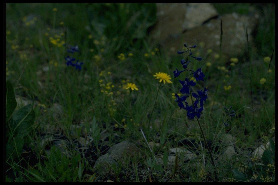 Farshot of prairie dandelion (Microseris troximoides) and upland larkspur (Delphinium nuttallianum).