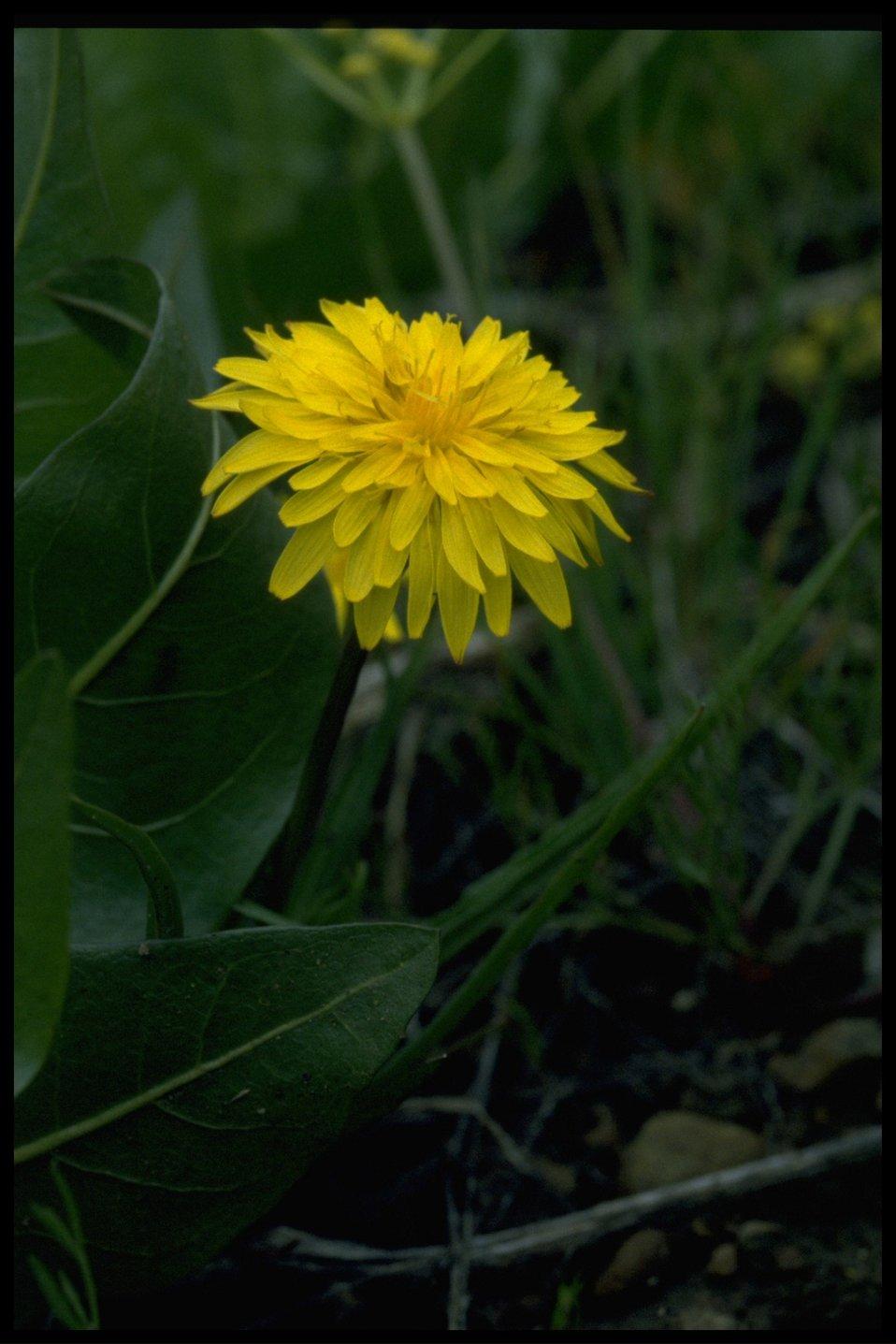 Closeup shot of prairie dandelion (Microseris troximoides).