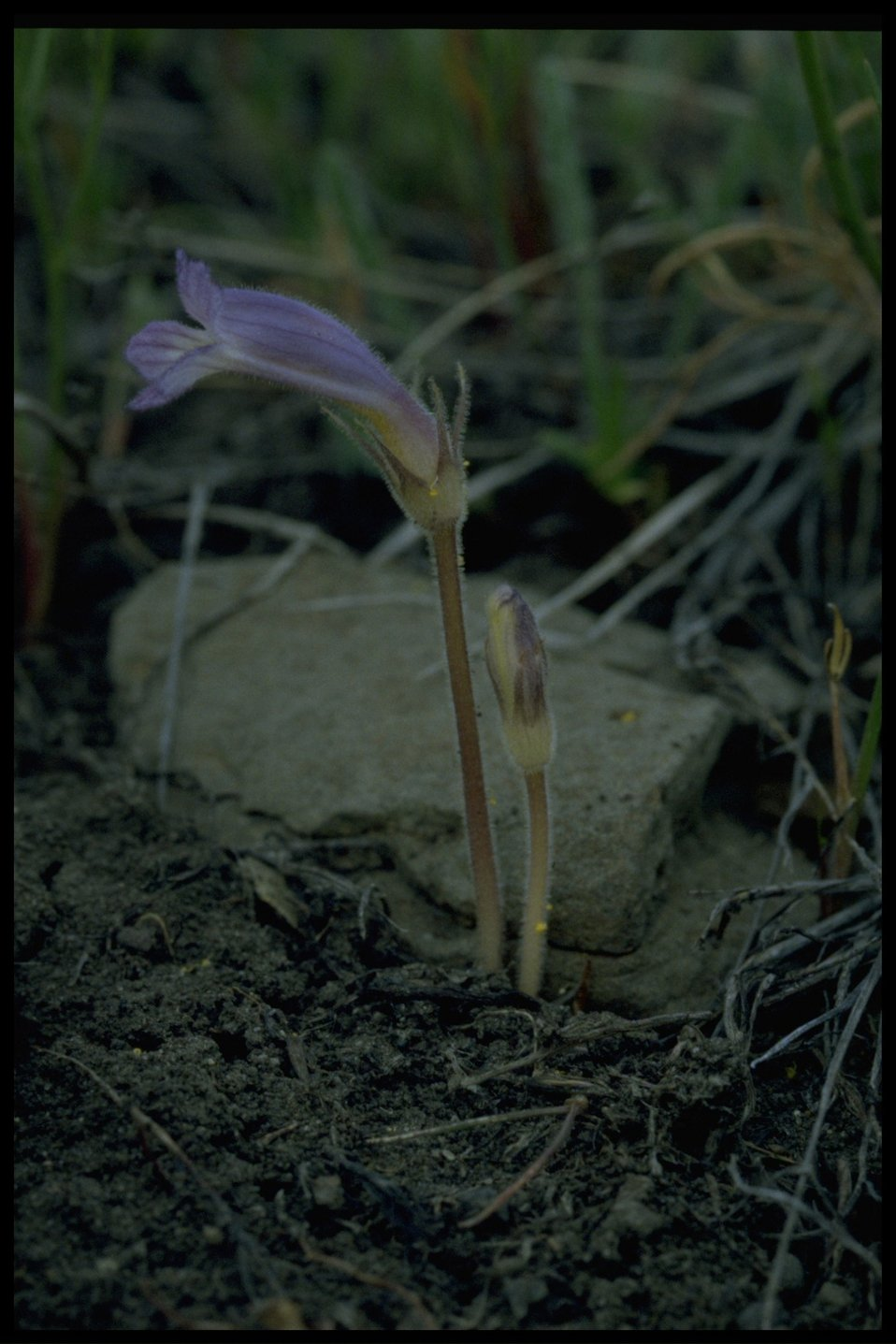 Farshot of oneflowered broomrape (Orobanche uniflora).