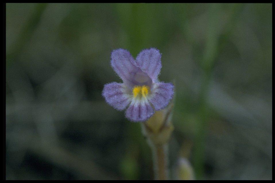 Closeup shot of oneflowered broomrape (Orobanche uniflora).