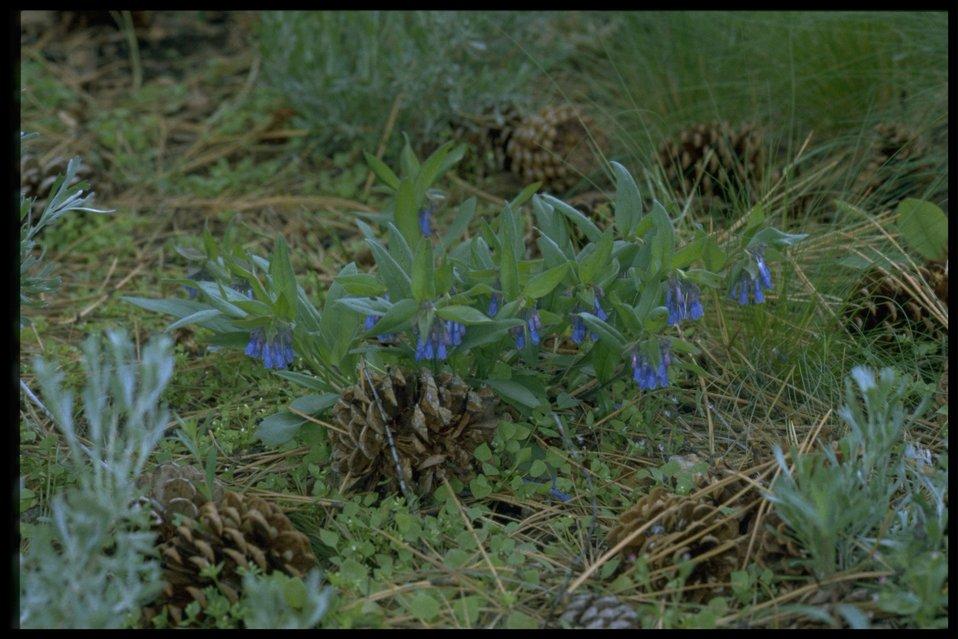 Farshot of small bluebells (Mertensia longiflora).