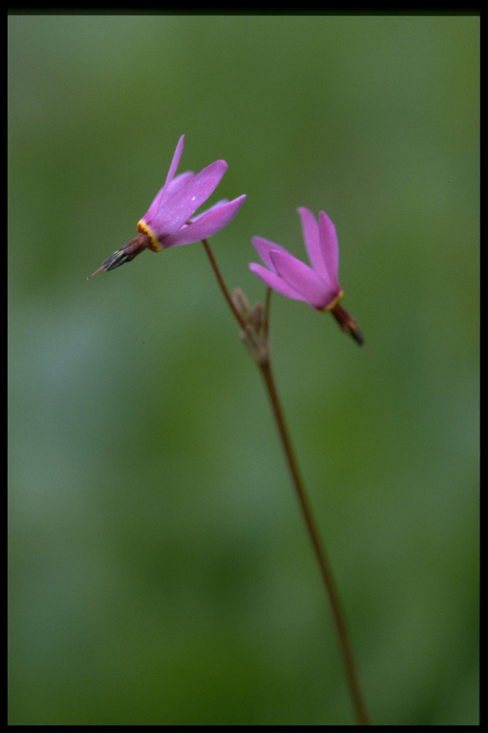 Medium shot of bonneville shootingstar (Dodecatheon conjugens).