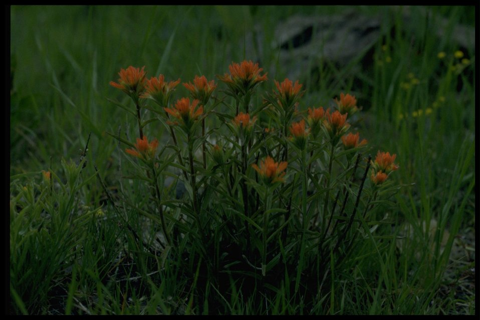 Farshot of wavyleaf Indian paintbrush (Castilleja applegatei).