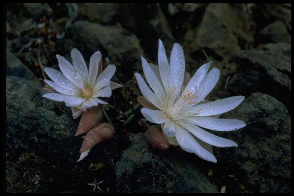 Closeup shot of bitter root (Lewisia rediviva).