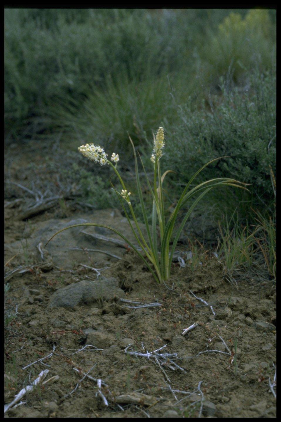 Farshot of meadow deathcamas (Zigadenus venenosus).