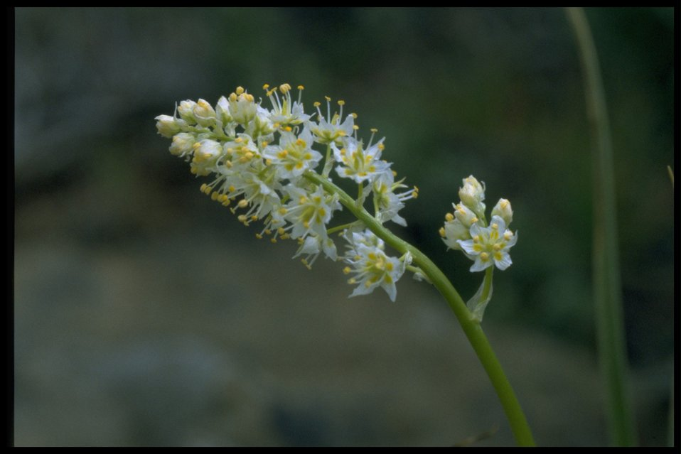Closeup shot of meadow deathcamas (Zigadenus venenosus).