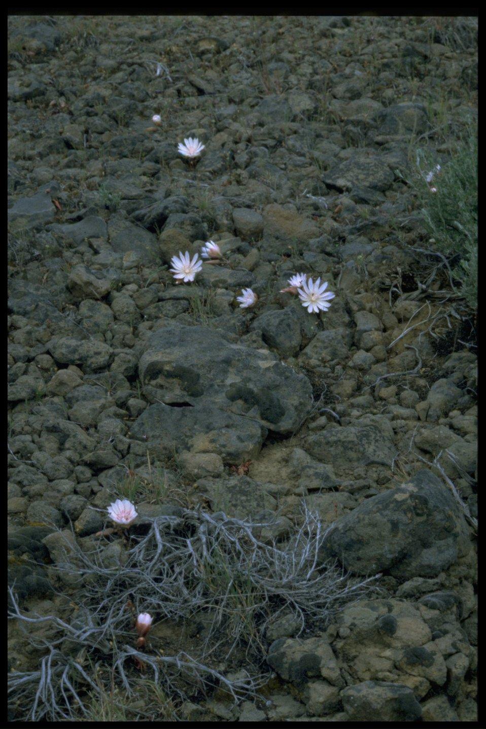 Farshot of bitter root (Lewisia rediviva).