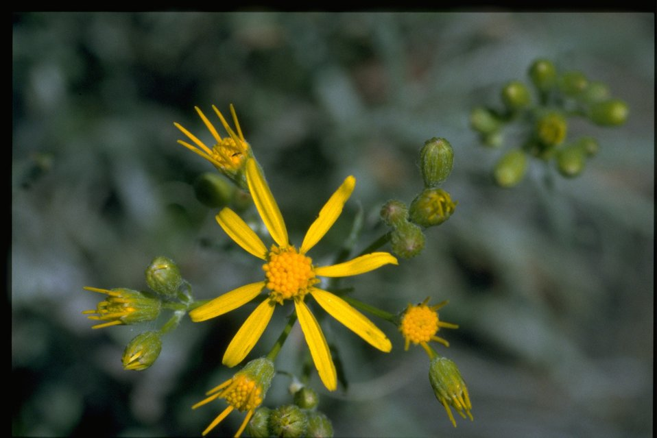 Closeup shot of western groundsel (Senecio integerrimus)