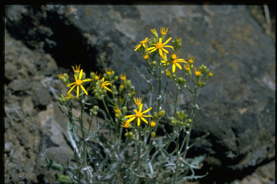 Medium shot of western groundsel (Senecio integerrimus)