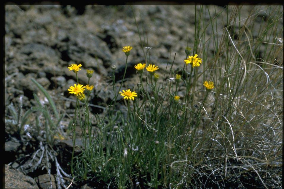 Farshot of desert yellow fleabane (Erigeron linearis)