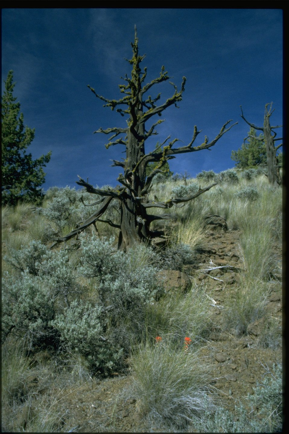 Farshot of weathered Western Juniper (Juniperus Occidentalis) snag.