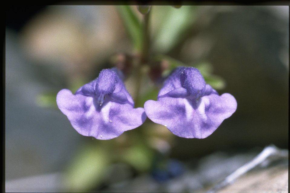 Closeup shot of Narrowleaf skullcap (Scutellaria angustifolia).