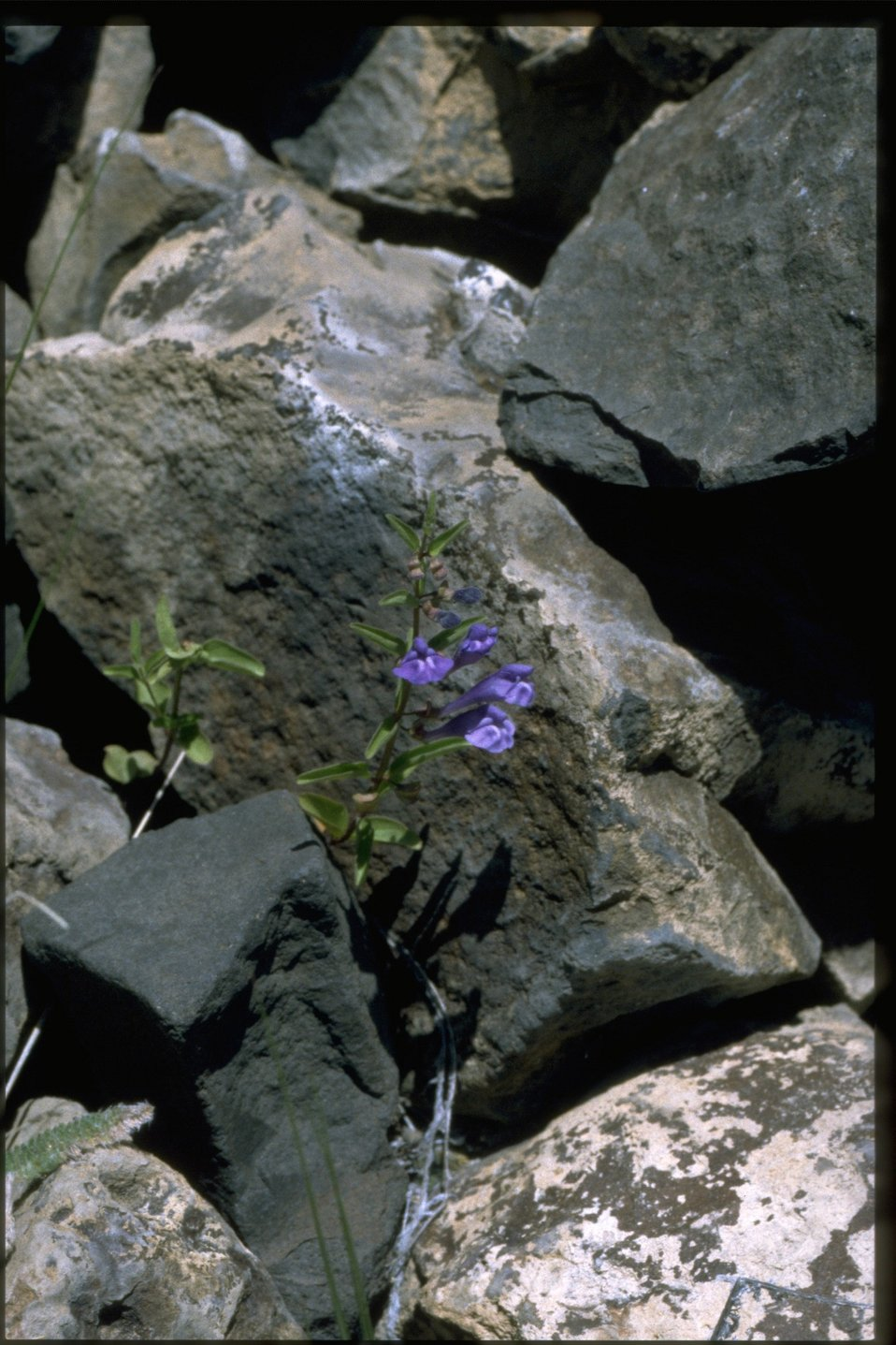 Narrowleaf skullcap (Scutellaria angustifolia) growing in basalt outcrop.