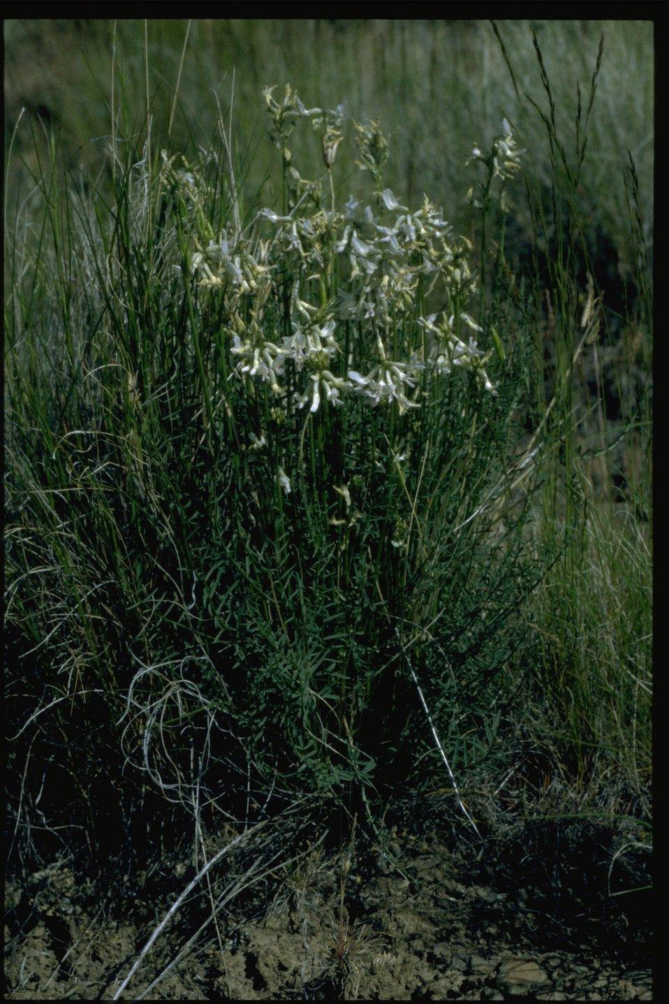 Farshot of Idaho milkvetch (Astragalus conjunctus).