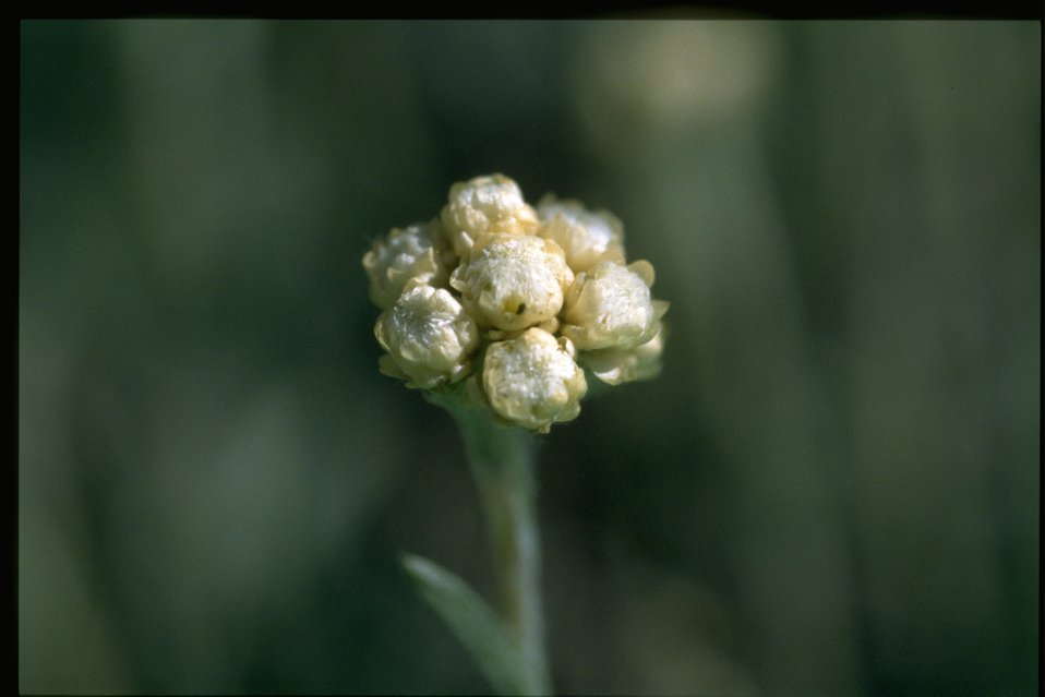 Closeup shot of littleleaf pussytoes (Antennaria microphylla).