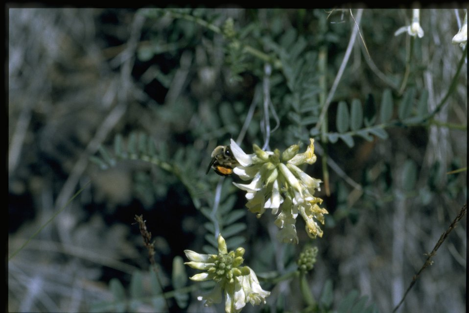 Medium shot of curvepod milkvetch (Astragalus curvicarpus).