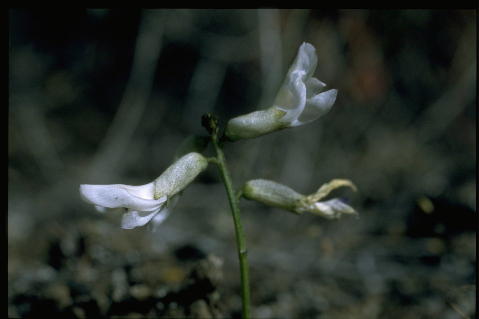 Closeup shot of Idaho milkvetch (Astragalus conjunctus).