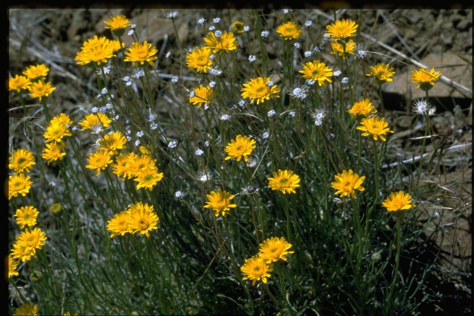 Medium shot of desert yellow fleabane (Erigeron linearis).