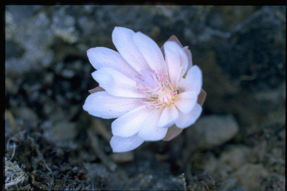 Closeup shot of bitter root (Lewisia rediviva).