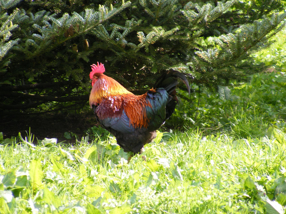 Roving rooster