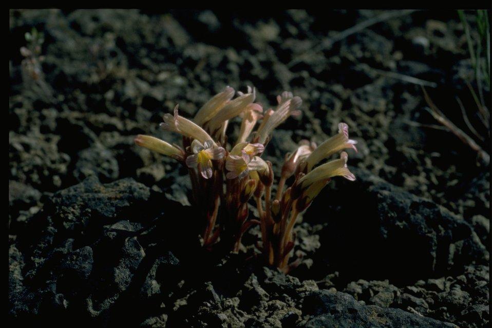 Medium shot of clustered broomrape (Orobanche fasciculata).