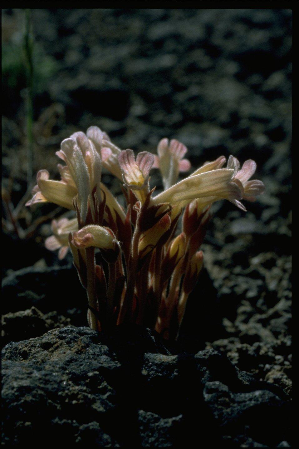 Closeup shot of clustered broomrape (Orobanche fasciculata).