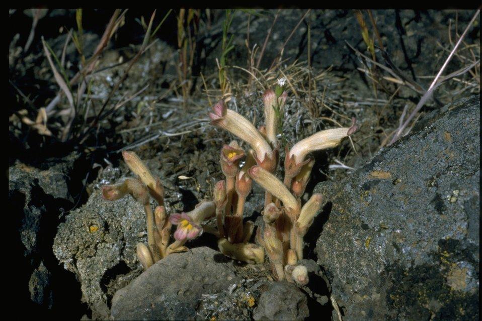 Farshot of clustered broomrape (Orobanche fasciculata).