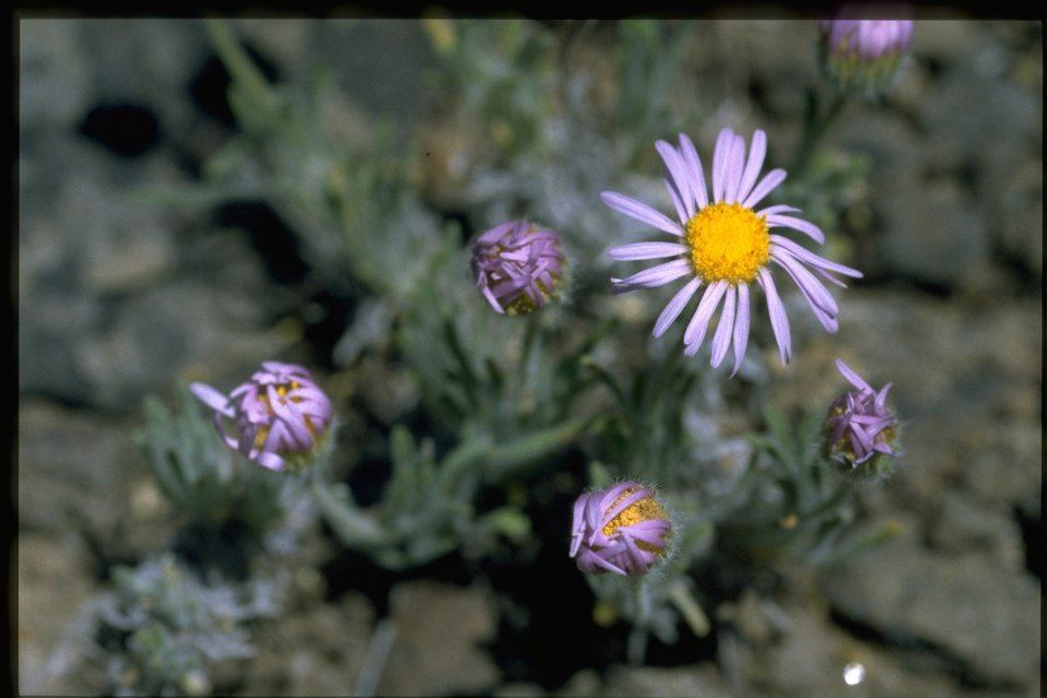 Medium shot of purple cushion fleabane (Erigeron poliospermus var. poliospermus).
