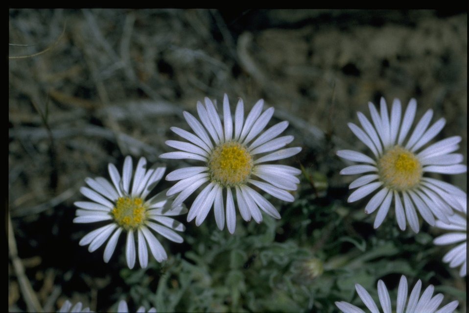 Closeup shot of purple cushion fleabane (Erigeron poliospermus var. poliospermus).