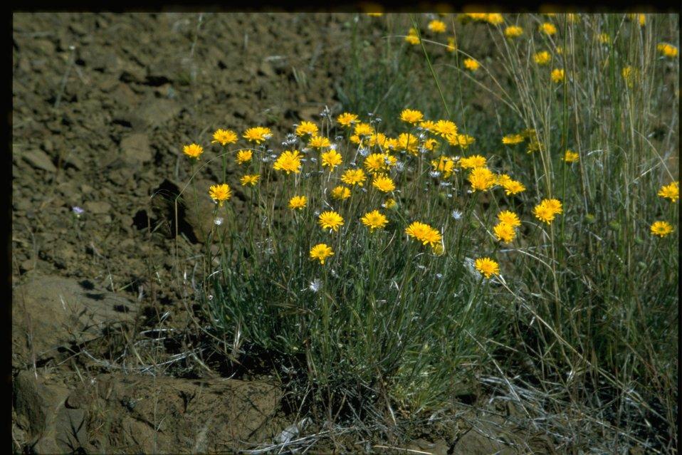 Farshot of desert yellow fleabane (Erigeron linearis).