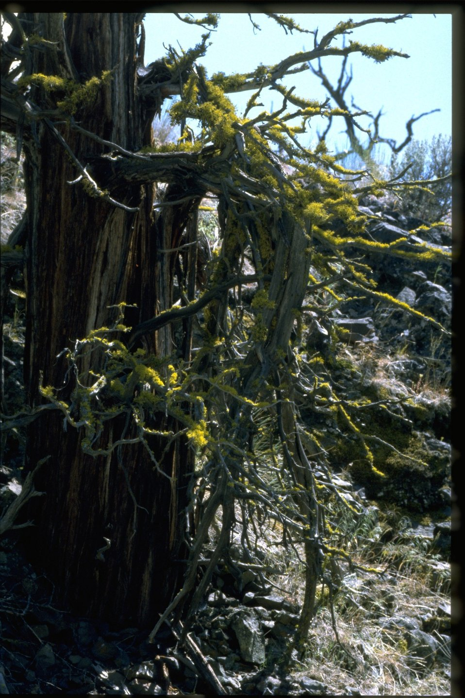 Ancient Western juniper (Juniperus occidentalis) with yellow-green lichen (Letharia vulpina).