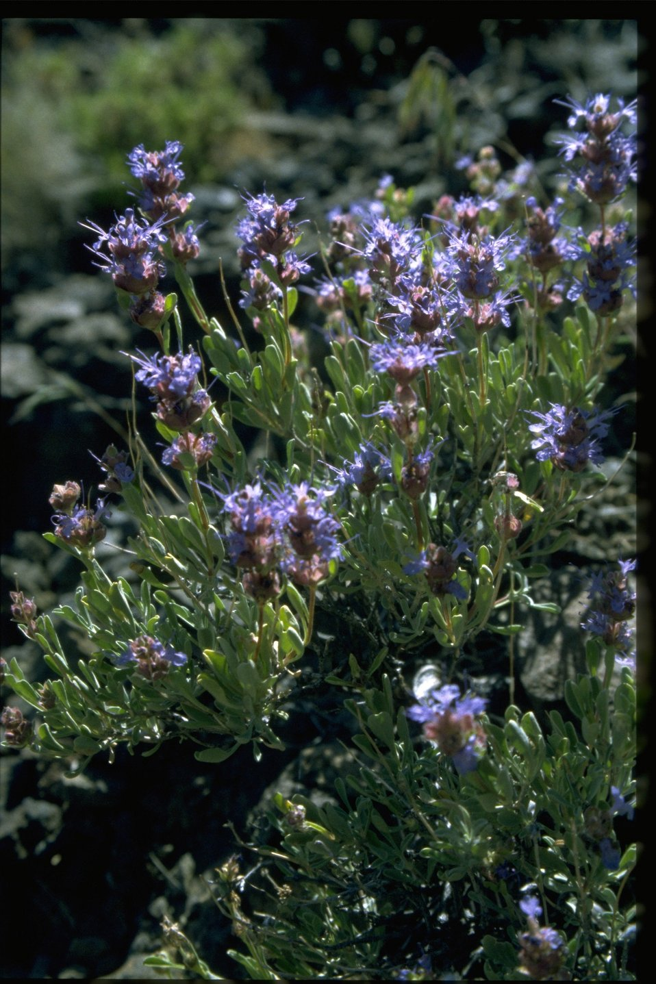 Medium shot of purple sage (Saliva dorrii).