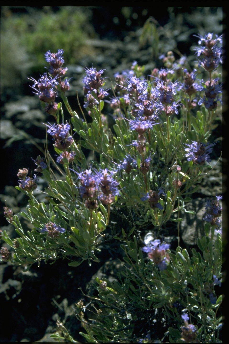 Medium shot of purple sage (Saliva dorrii).