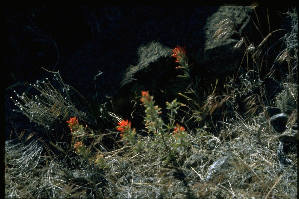 Farshot of desert paintbrush (Castilleja chromosa).