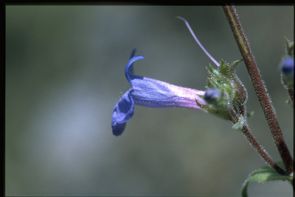 Closeup shot of low beardtongue (Penstemon humilis).