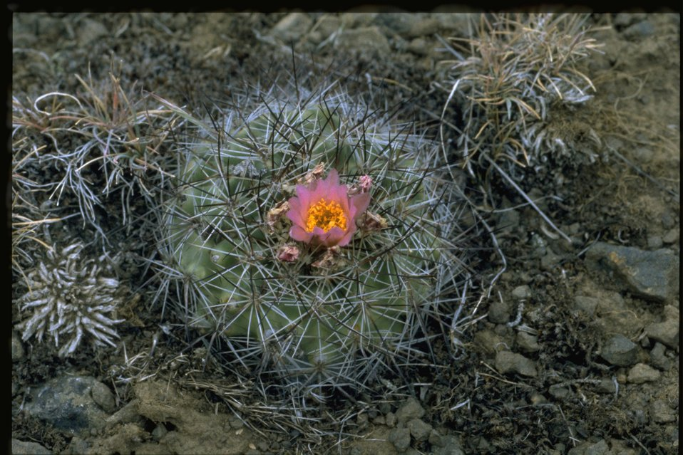 Closeup shot of Simpson hedgehog cactus (Pediocactus simpsonii var. robustior).