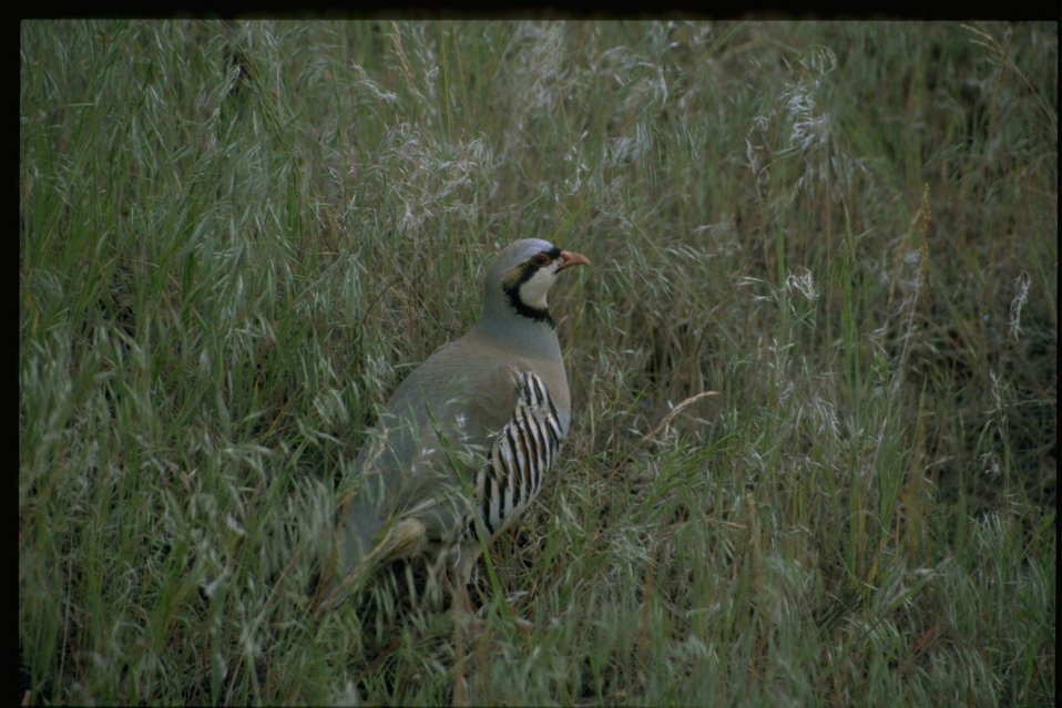 Medium shot of chukar (Alectoris chukar).