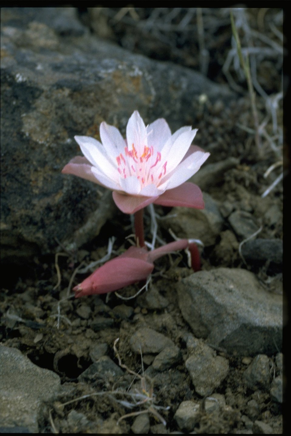 Medium shot of bitter root (Lewisia rediviva).