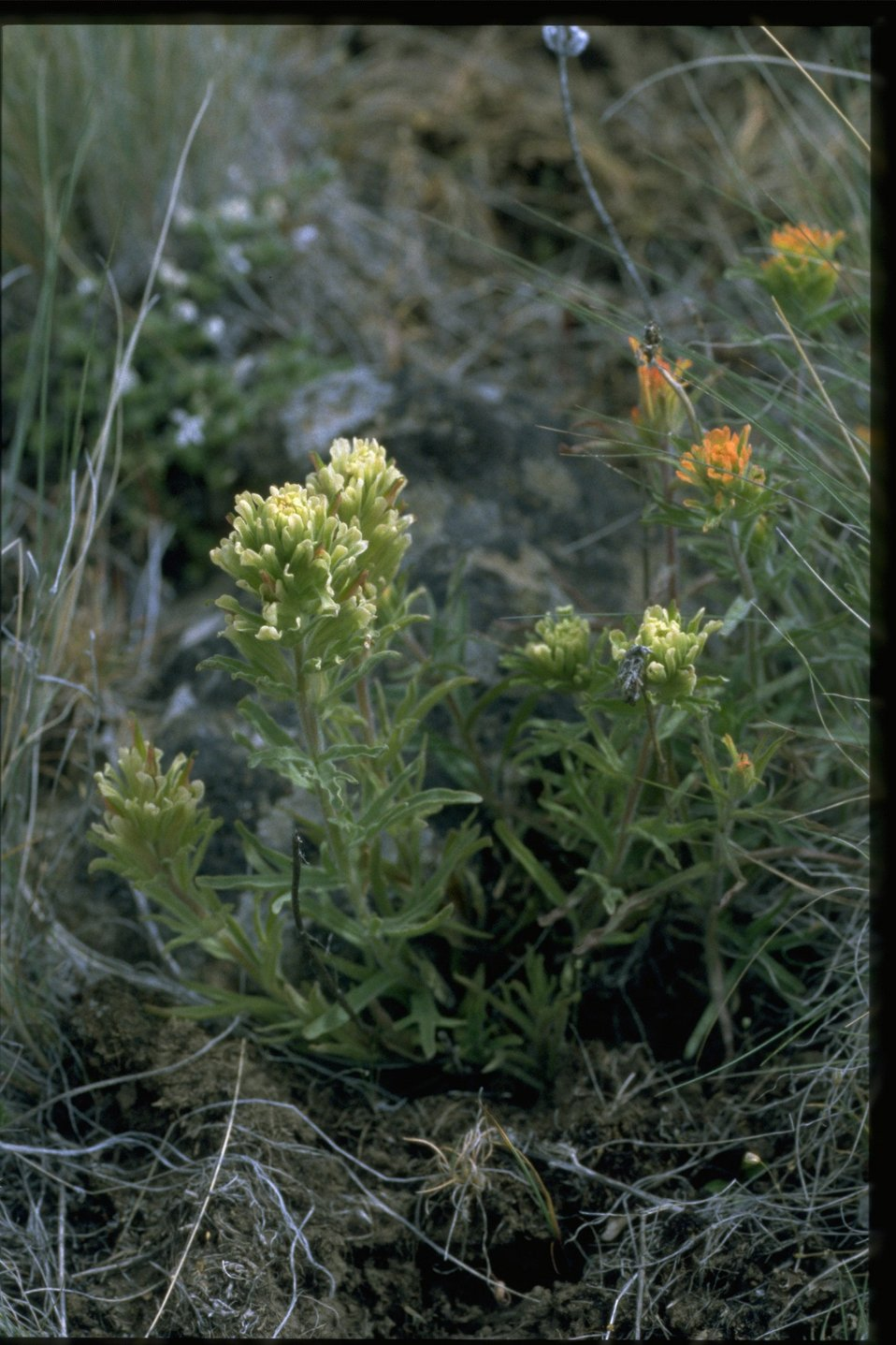 Medium shot of yellowhairy Indian paintbrush (Castilleja xanthotricha).