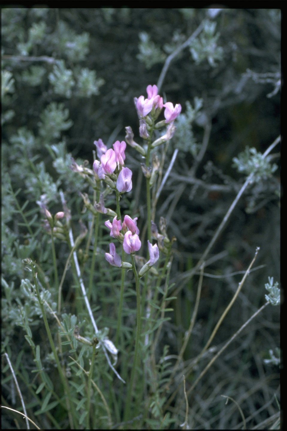 Medium shot of Idaho Milkvetch (Astragalus conjunctus).